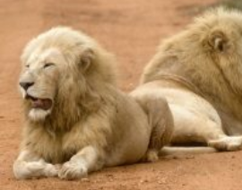Sacred Journey to the White Lions – July 2019 in Timbavati, South Africa