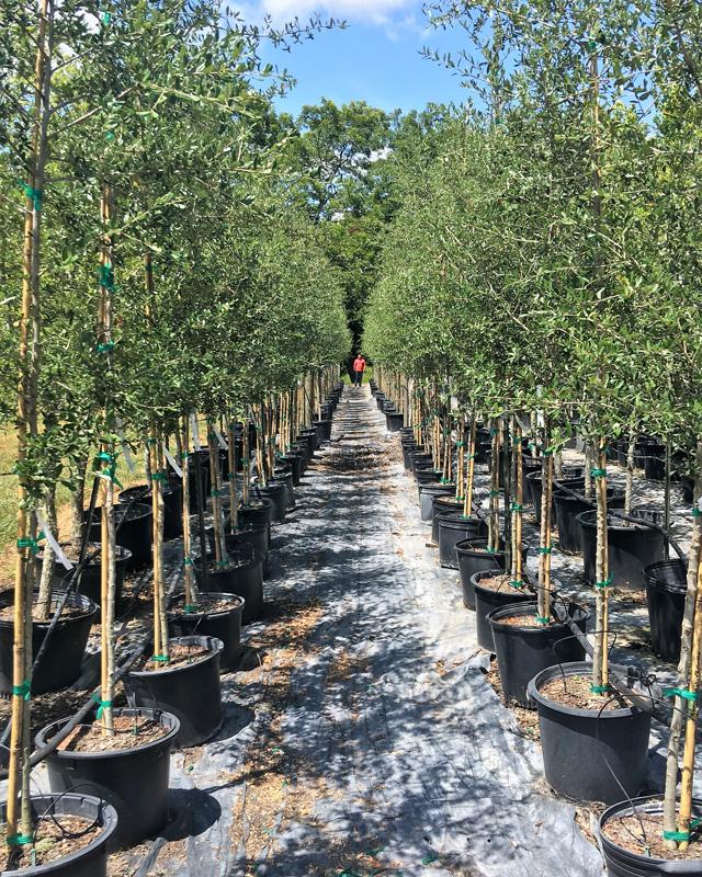 2016, 07, 24 PermaVista Trees - Live Oak Trees - 15 Gallons