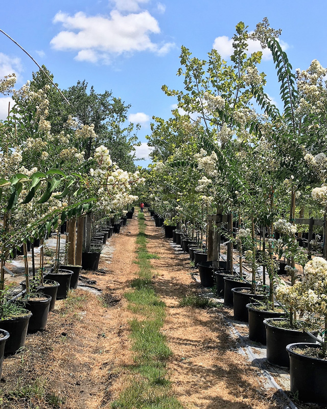 2016, 07, 24 PermaVista Trees - White Natchez Crape Myrtle - 30 Gallons {Single}