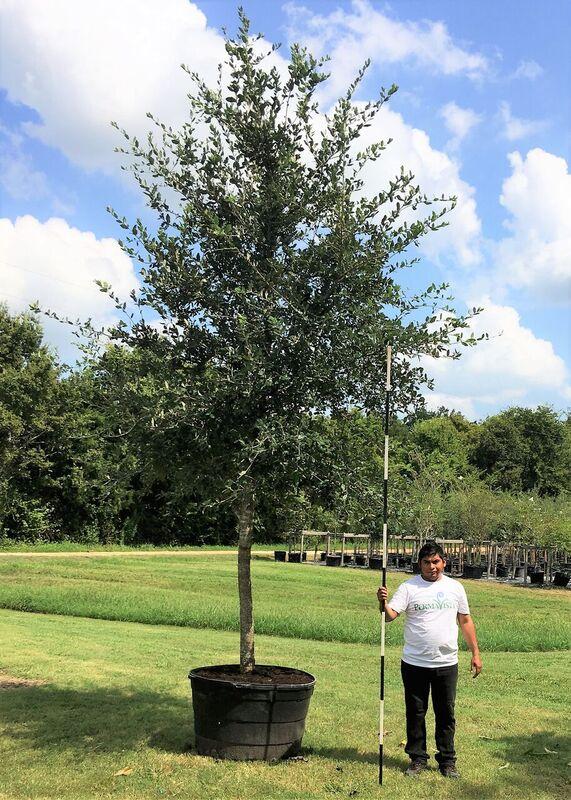 2016, 09, 03 - Live Oak Tree, 95 Gallons.