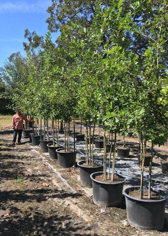 2016, 10, 09 Shummard Red Oak (Triple) 30 Gallon