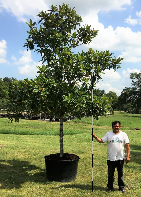 2016, 09, 03 - Magnolia Tree, 95 Gallons.