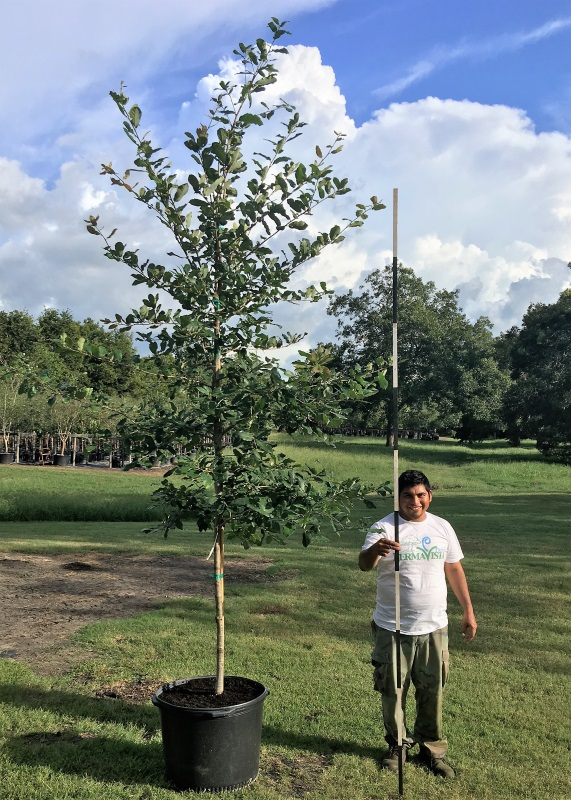 2016, 09, 10 PermaVista Trees - Mexican White Oak, 30 Gallons.