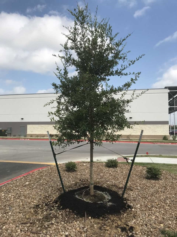 2018, 04- Live Oak , 45 Gallon Planted