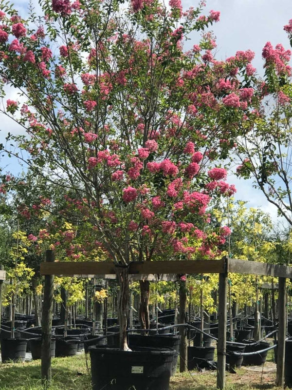 2018, 04- Miami Crape Myrtle, 200 Gallon.