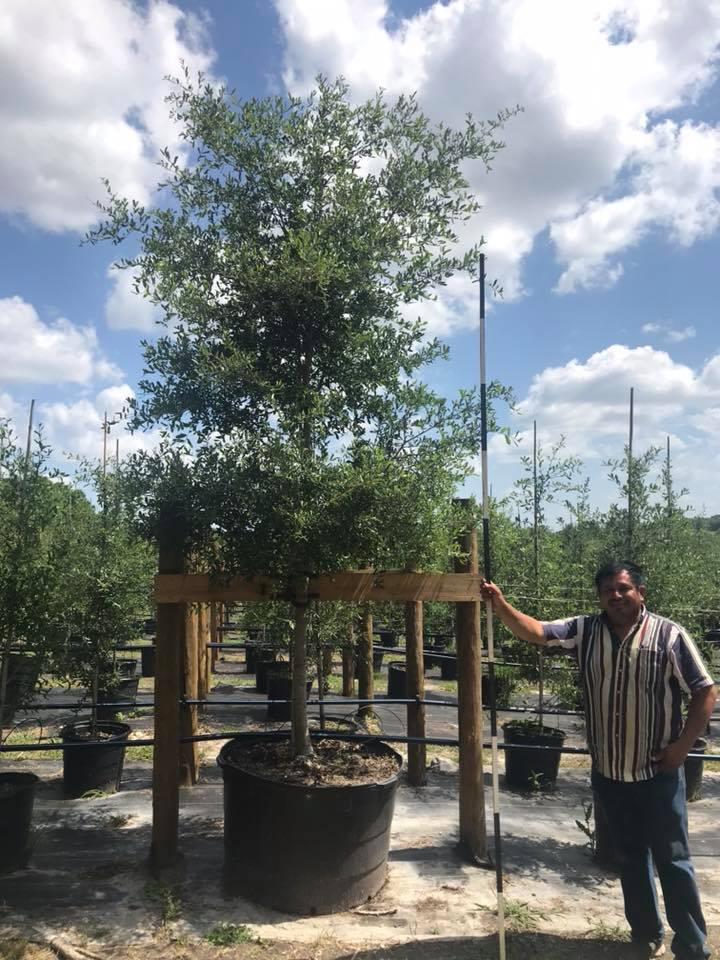 2018, 07- Live Oak, 95 Gallon.