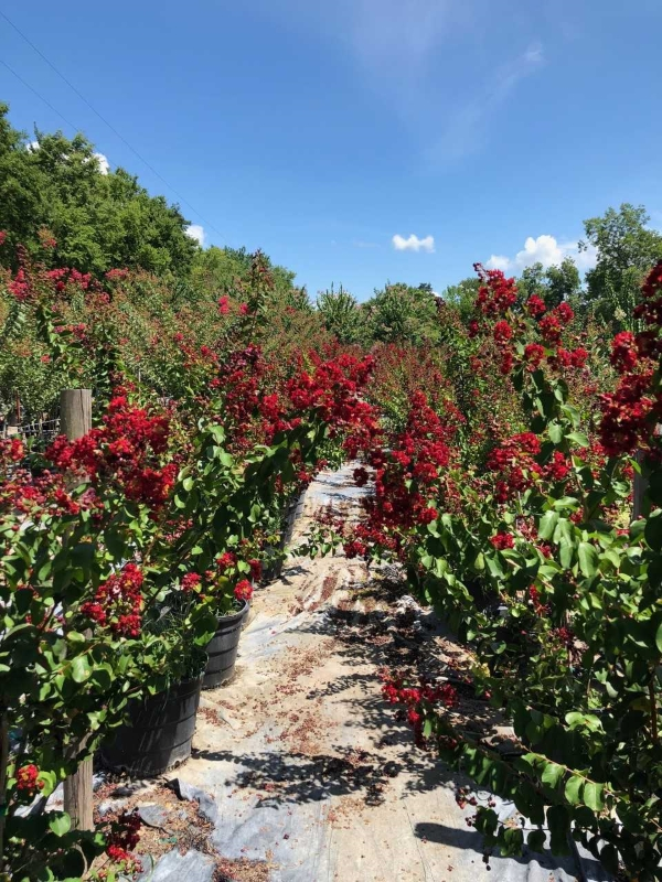 2018, 07- Red Dynamite Crape Myrtle- 15 Gallon.