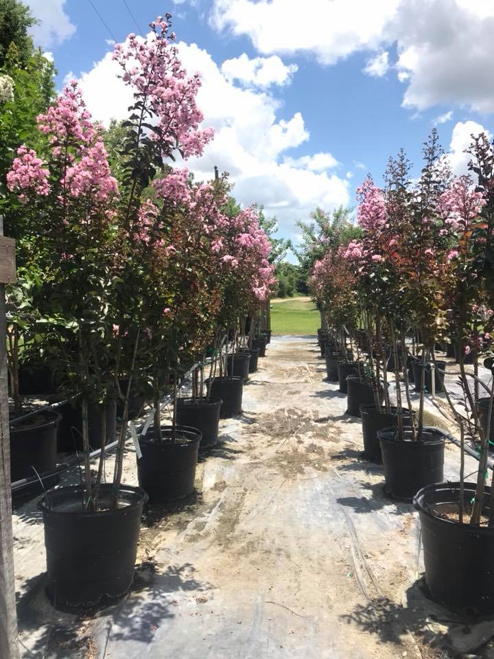 2018, 07- Sioux Crape Myrtles, 15 Gallon.