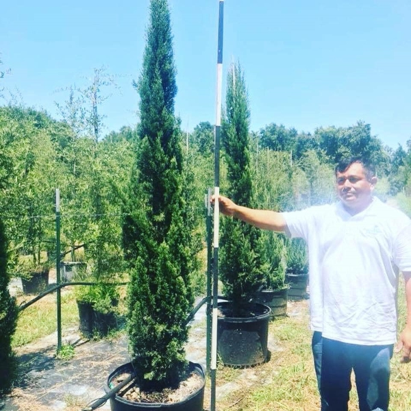 2018, 09- Italian Cypress, 30 Gallon.