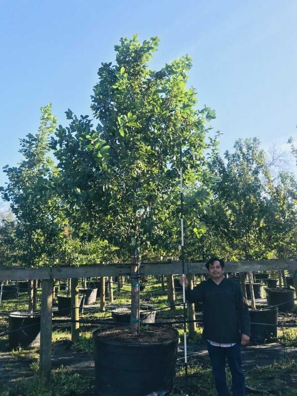 2018, 11- Monterrey Oak, 200 Gallon.
