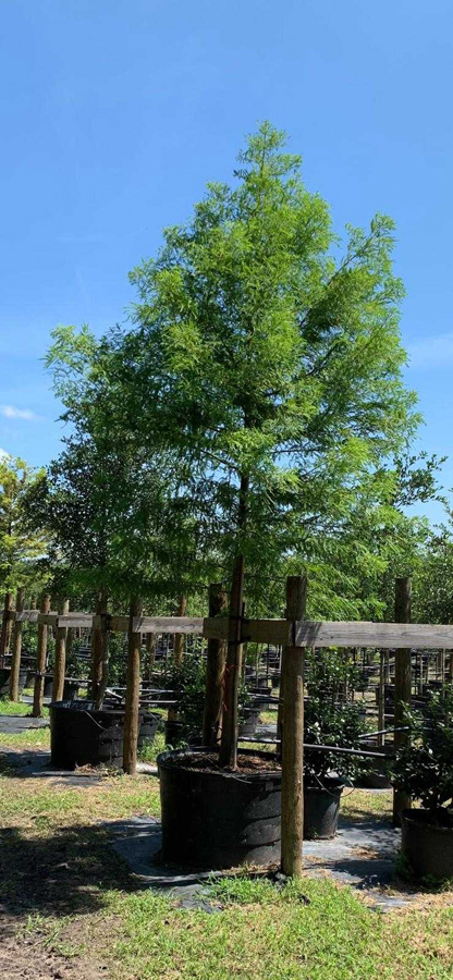 2019, 04- Bald Cypress- 95 Gallon