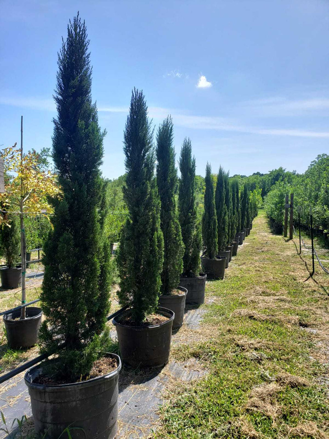2019, 04- Italian Cypress- 30 Gallon