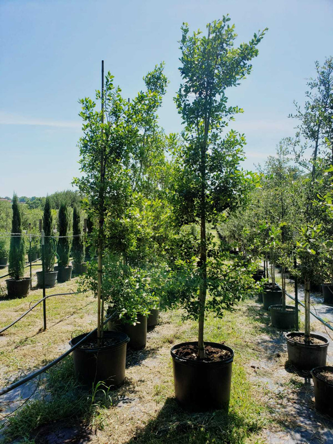 2019, 05- East Palatka Holly- 30 Gallon