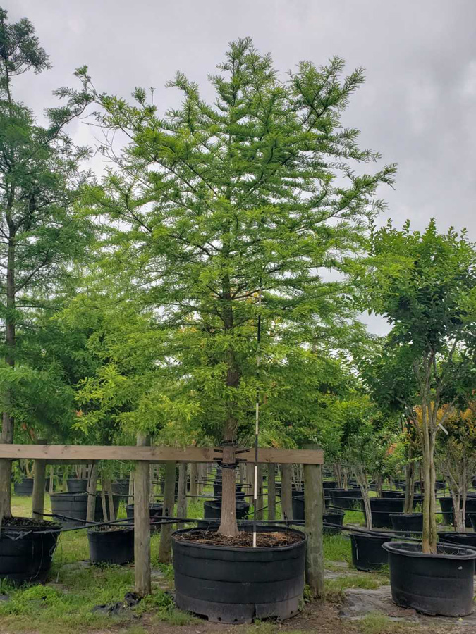 2019, 06- Bald Cypress- 300 Gallon