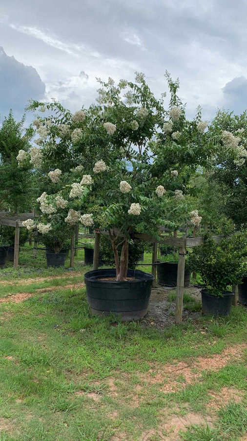 2019, 06- Crape Myrtle Natchez- 200 Gallon