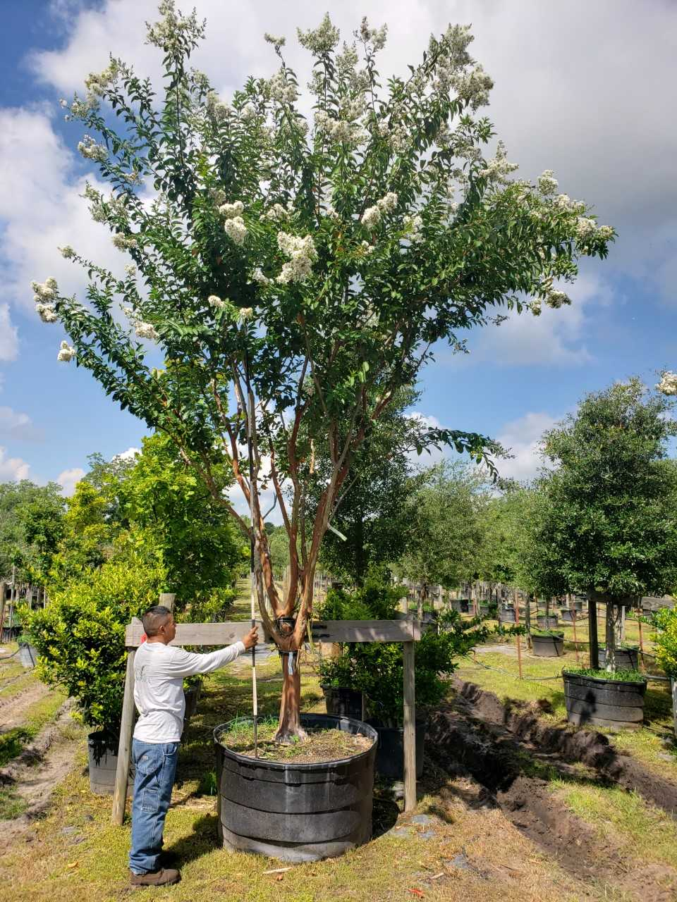 2019, 08- Crape Myrtle Natchez MT, 200 Gallon.