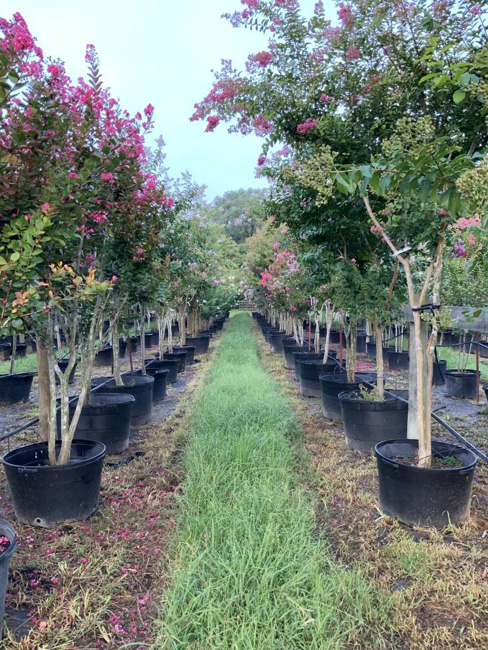 2019, 08- Crape Myrtles (different sizes & colors).