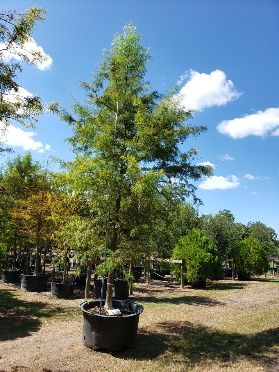 2019, 09- Bald Cypress, 200 Gallon.
