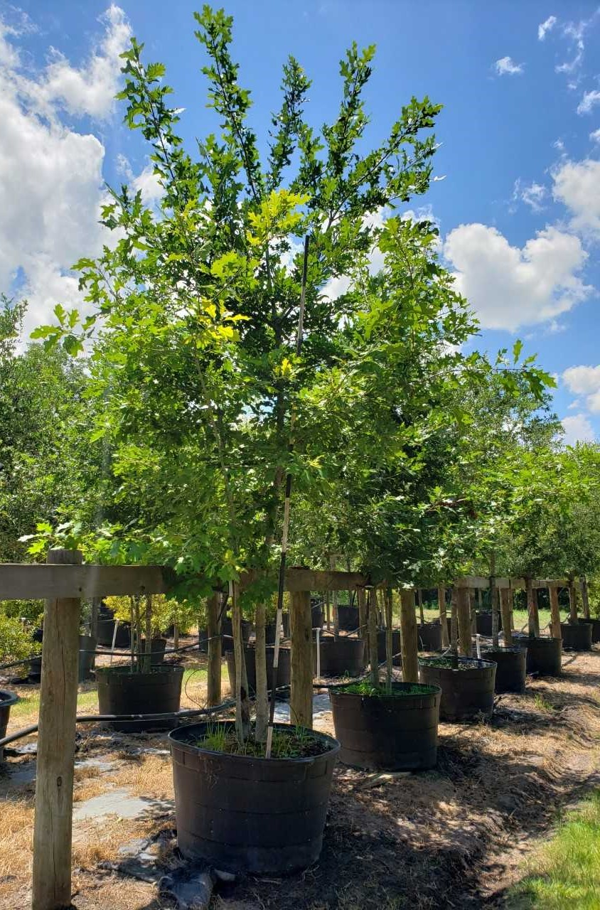 2019, 09-Shummard Red Oak MT, 95 Gallon. (2)