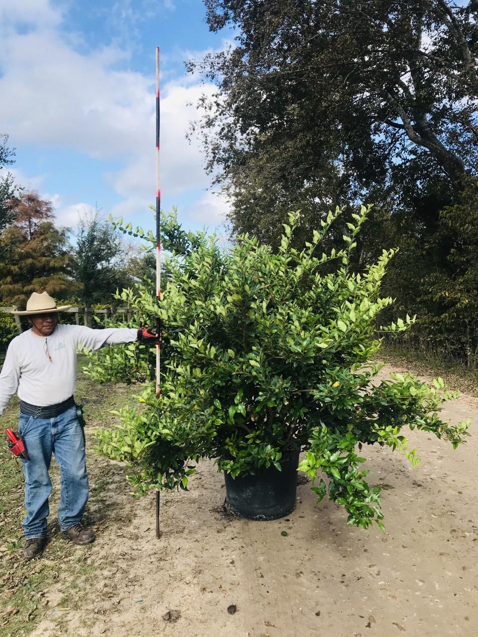 2019, 12- Wax Leaf Ligustrum, 30 Gallon