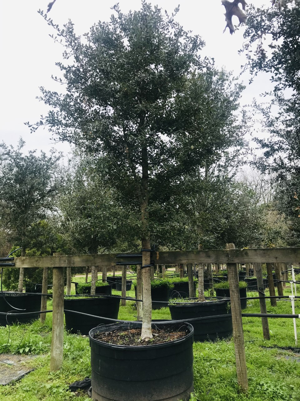 2020, 02- Live Oak, 200 Gallon