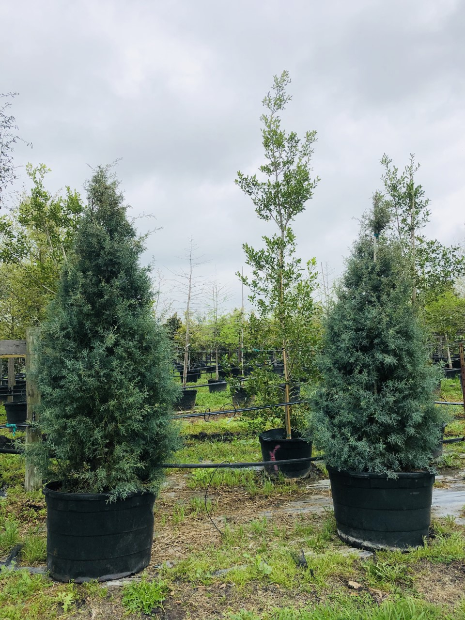 2020, 03- Carolina Sapphire Arizona Cypress, 45 Gallon