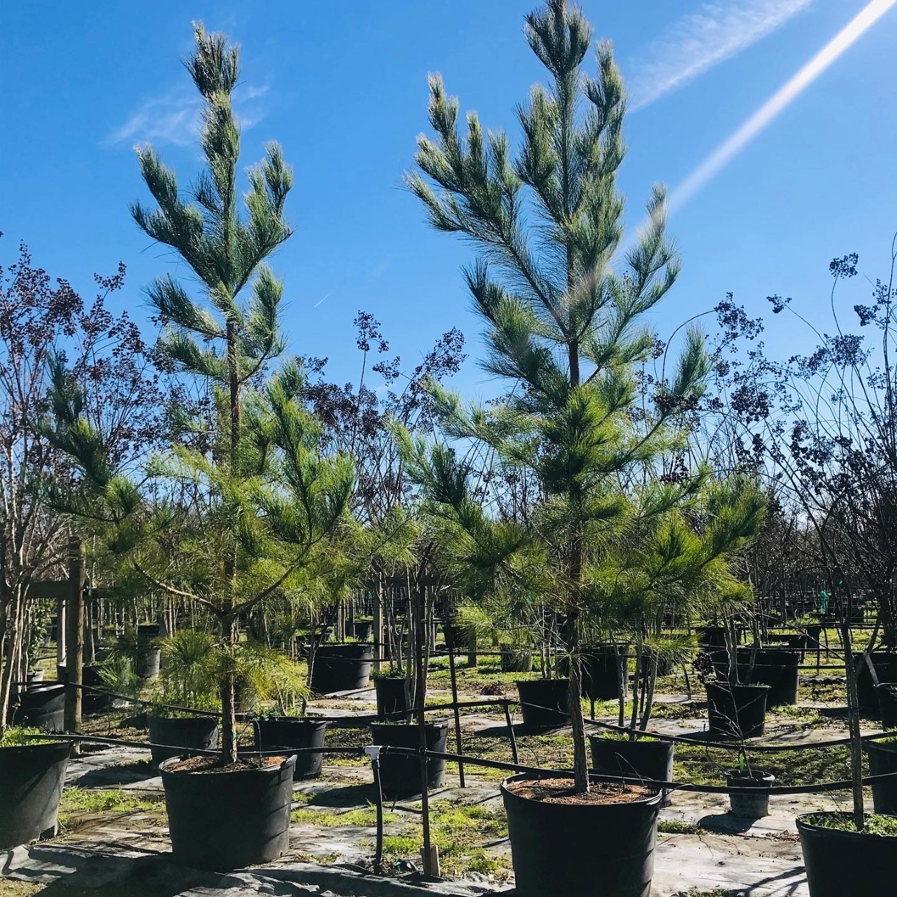 2020, 03- Loblolly Pines, 45 Gallon