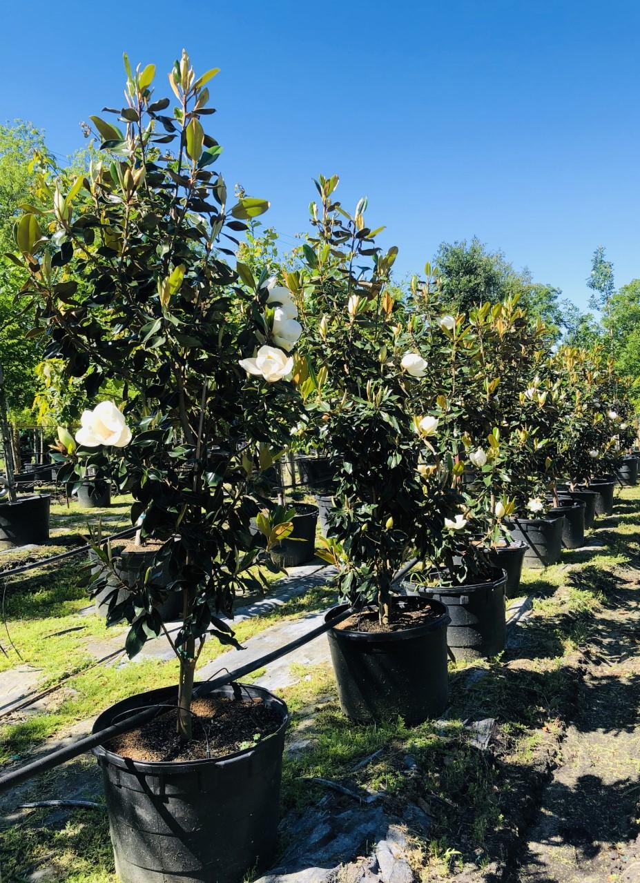 2020, 04- Magnolia Little Gem, 30 Gallons