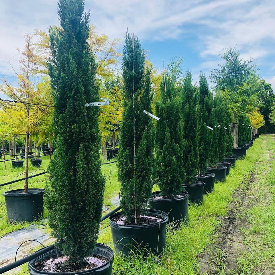 2020, 05- Italian Cypress, 30 Gallons