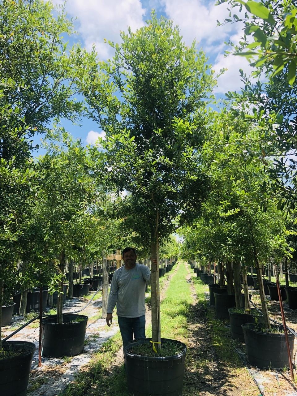 2020, 05- Live Oak , 45 Gallons