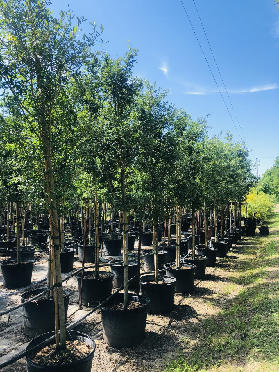 2020, 07- Live Oaks, 30 Gallons