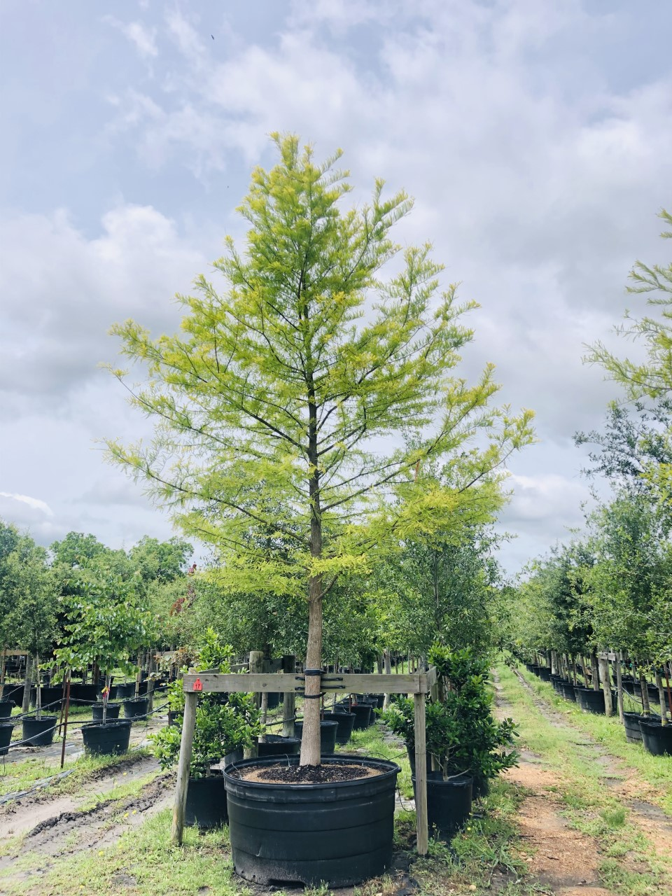 2020, 08- Bald Cypress, 300 Gallons