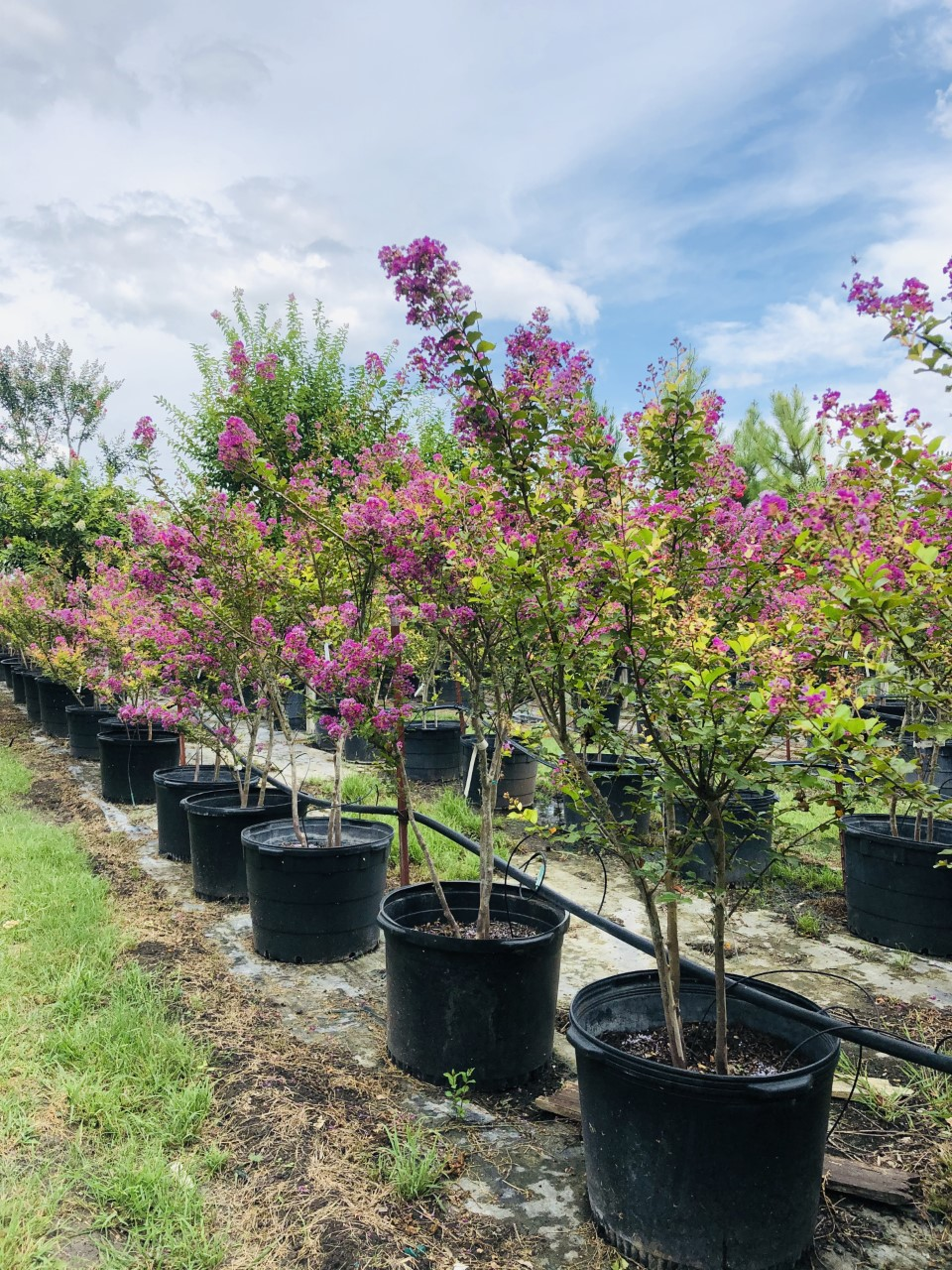 2020, 08- Dwarf Twilight Crape Myrtle, 30 Gallons
