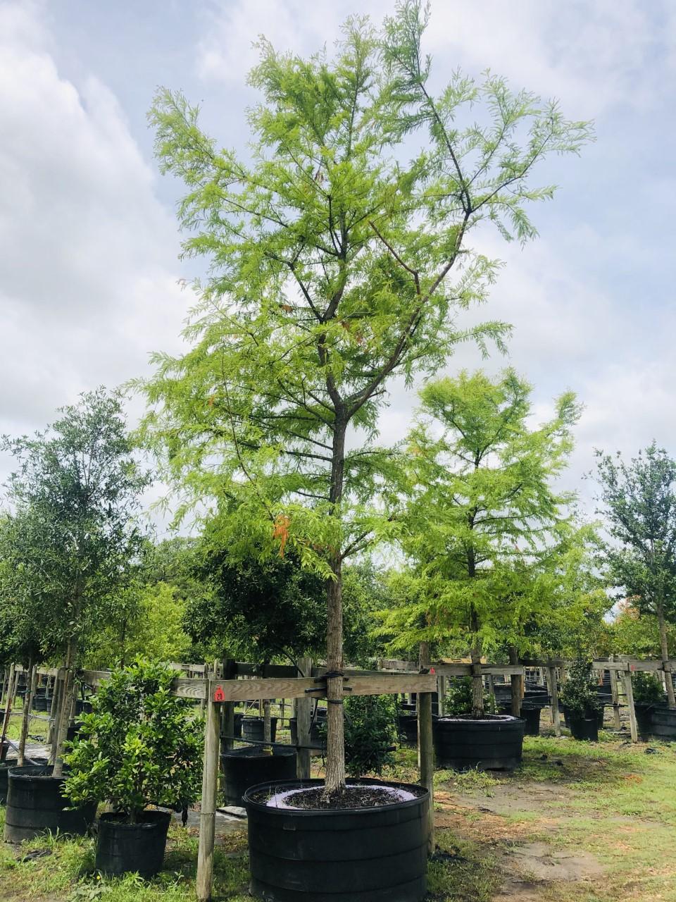 2020, 08- Montezuma Cypress, 300 Gallons