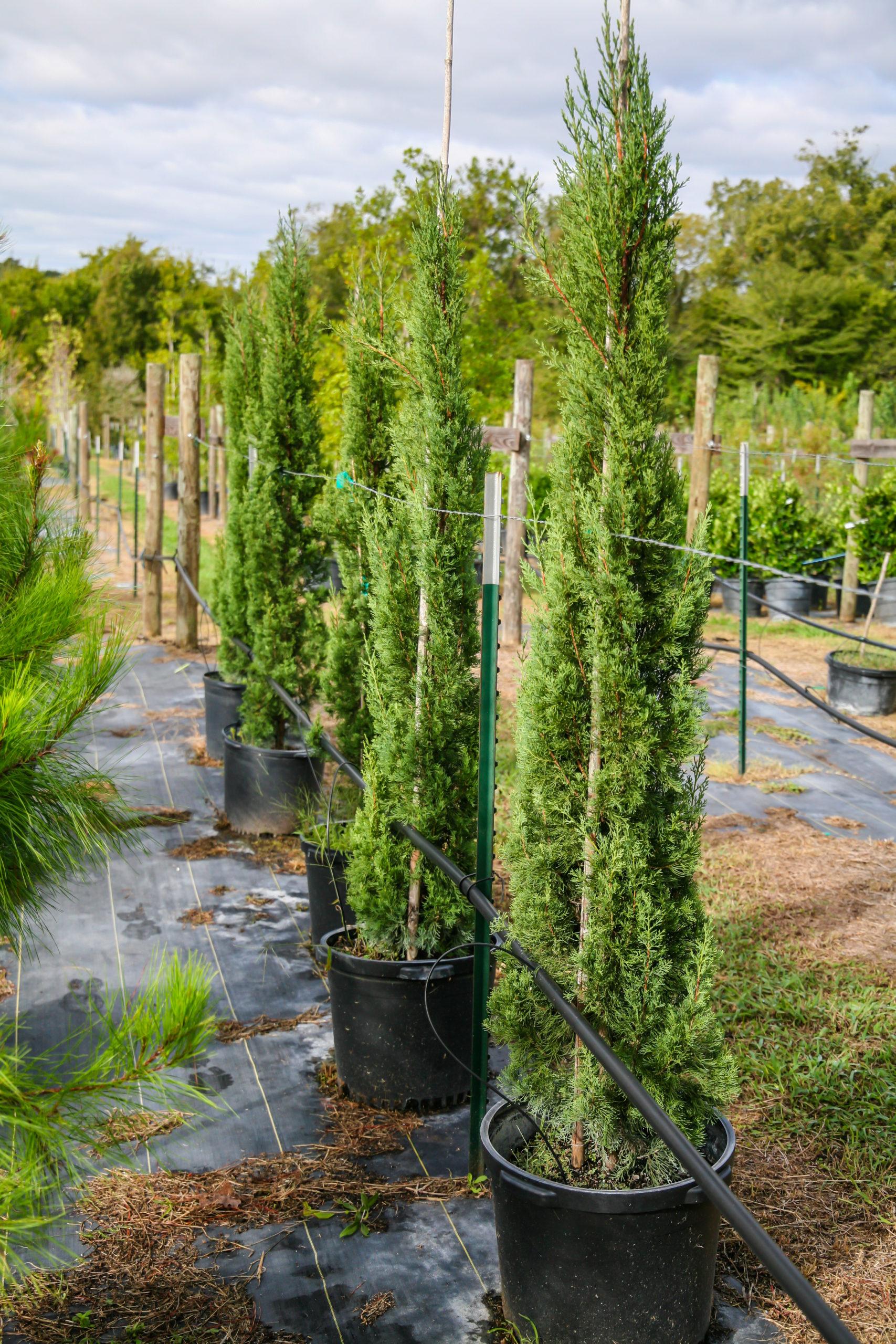 2020, 01- Italian Cypress, 15 Gallons