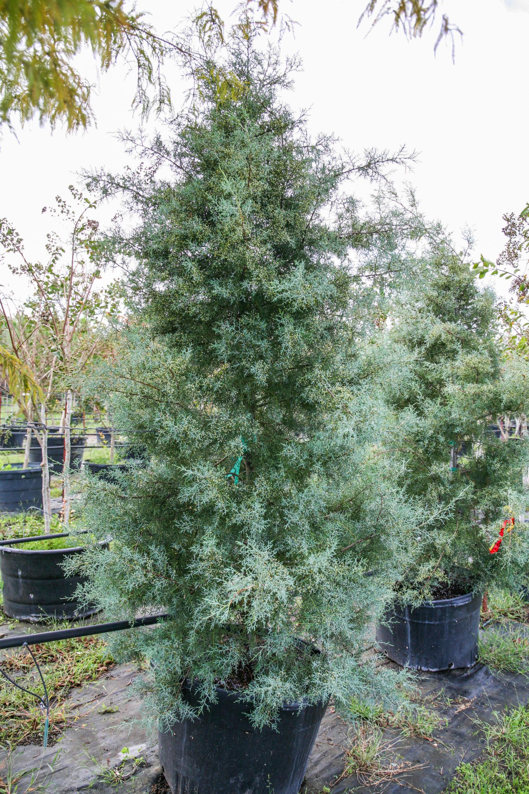 2021, 01- Carolina Sapphire Arizona Cypress, 45 Gallons
