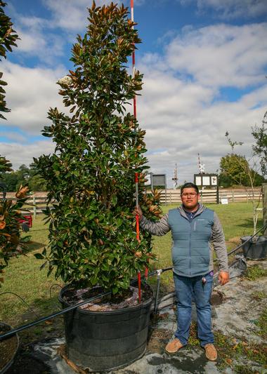 Magnolia-Little-Gem-95-Gallons-r1