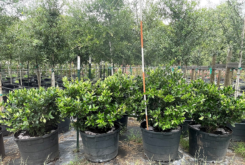 2021, 07, 09 - Wax Leaf Ligustrum 30 Gallons