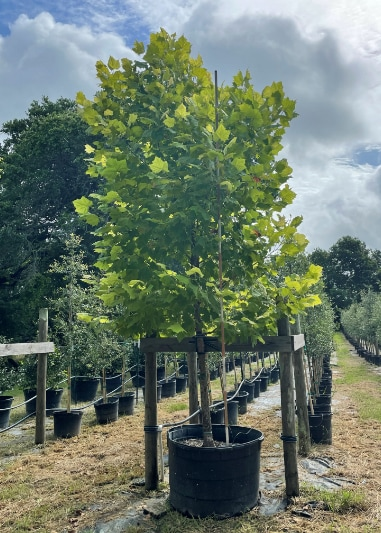 2021, 07, 09 - American Sycamore 95 Gallons