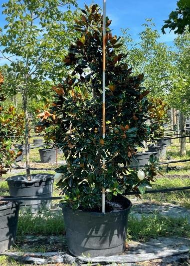 2021, 07, 09 - Magnolia Little Gem 45 Gallons