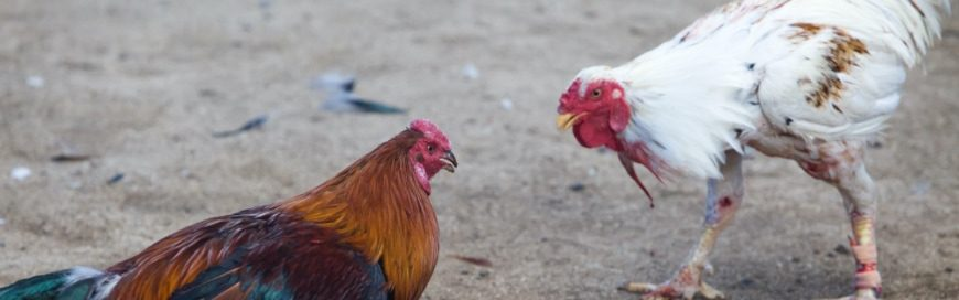 There are 101 reasons not to get into cockfighting, but you really only need two