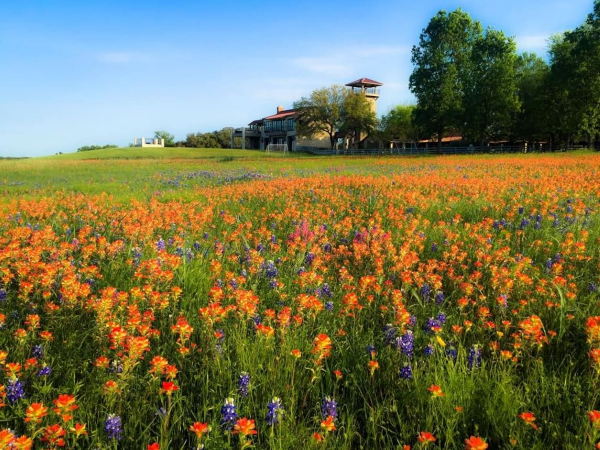 Enjoy the bluebonnets and wildflowers at the ranch during Spring time