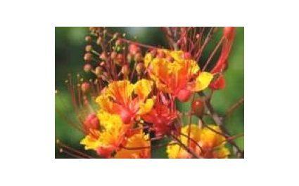 Red Bird of Paradise (Caesalpinia Pulcherrima) – Poisonous Plants