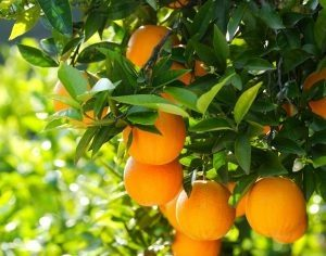 Fun Citrus Facts
