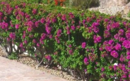Bougainvillea – Plant of the Month June