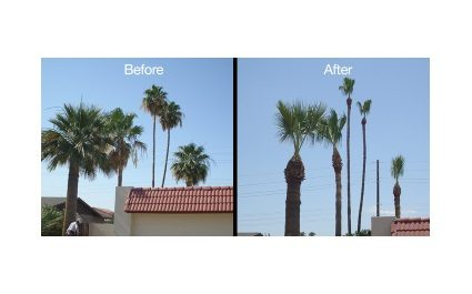 Palm Tree Pruning and Trimming in Phoenix, AZ