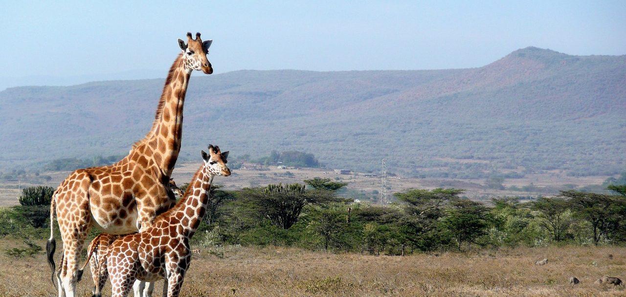 giraffe-1955126_1280-2-e1551410298698